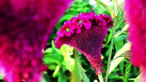celosia cristata tanaman hias jengger ayam photo
