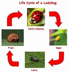 This Easy To Read Life Cycle Chart Is Perfect For Students
