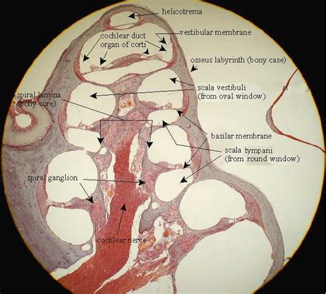 Guinea Pig Diagram Label by Nervous System David Fankhauser