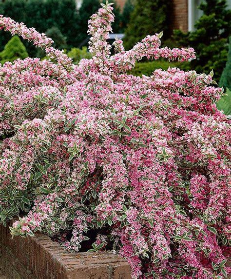 panachee en pot les 25 meilleures id 233 es concernant arbuste en pot sur arbuste a fleur jaune plantes