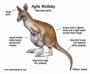 Wallaby  Agile