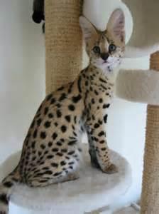 serval cat cost самые большие коты в мире порода мейн кун maine coon