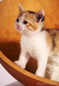 calico cat names cat names calico images frompo