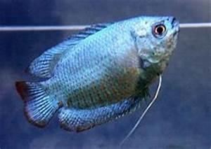 All About Aquarium Fish Dwarf Gourami in munity Tank