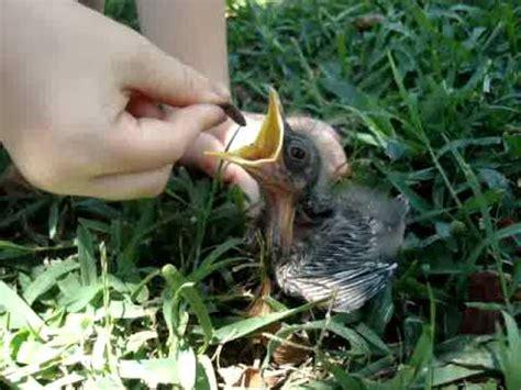 feeding baby mockingbird wax worms youtube