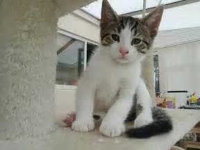 Tabby Cat Kittens for Sale