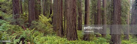Oldgrowth Redwoods At Jedediah Smith Redwood State Park