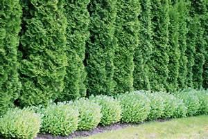Zypresse Wird Braun : thuja hecke wird braun thuja wird nach 25 jahren ganz braun hilfe meine thuja hecke wird pl ~ Orissabook.com Haus und Dekorationen