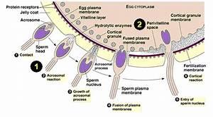 IB-Biology2010-12 - Human Reproduction