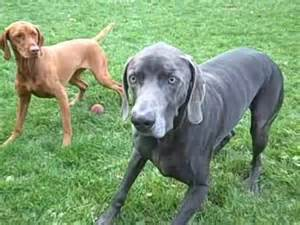dogs playing with ball vizsla and weimaraner youtube