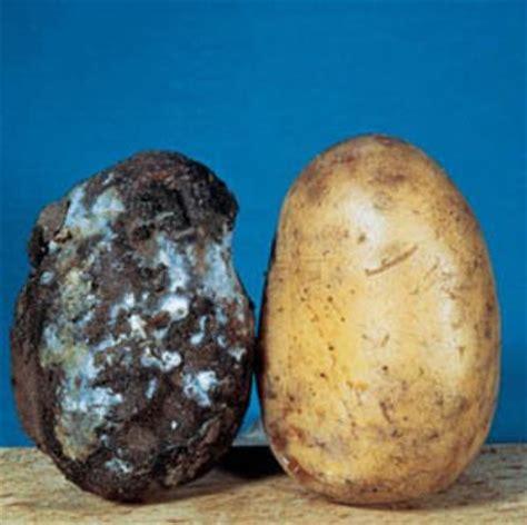 mildiou maladies potager pomme de terre