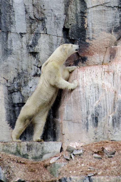 polar bears eat      thought