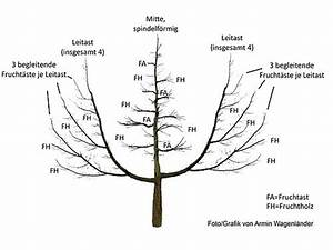 Apfelbaum Schneiden Anleitung : oeschbergschnitt wikipedia ~ Eleganceandgraceweddings.com Haus und Dekorationen