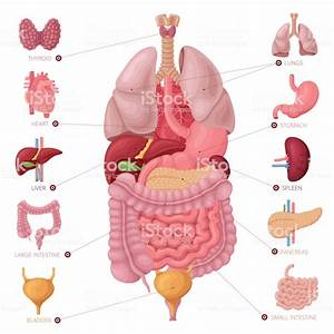 Human Internal Organs Anatomy Vector Stock Illustration