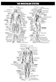 muscular system facts  aid nurse pinterest muscular system
