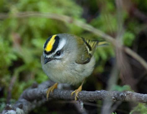 Shoreline Area News: For the birds: Kinglets, Kingbirds ...