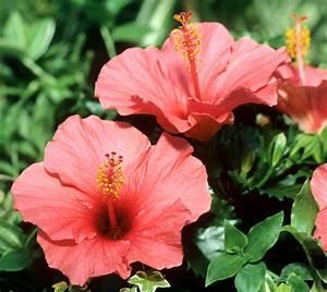 Taille De L Hibiscus : hibiscus planter et tailler ooreka ~ Melissatoandfro.com Idées de Décoration