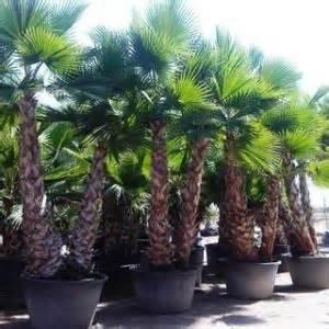 washingtonia robusta multi tronc palmier palmiers