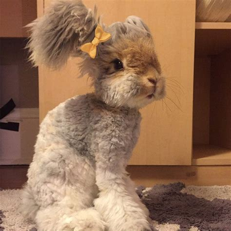 este es wally el conejo de angora de enormes orejas