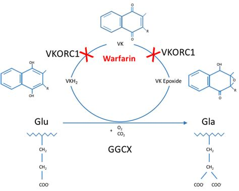 Enzymatic Cycle Diagram by The Vitamin K Cycle Glu Residues Are Gamma Carboxylated