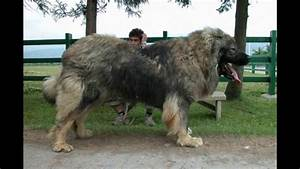 Top 10 Biggest Dogs In The WorlD - Bravecto Flea Control