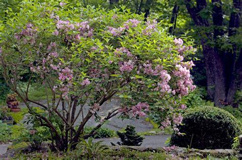 garden bushes 19th century english garden writer robinson encouraged flowering shrubs american gardening
