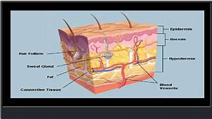 The Skin (Human Anatomy): Picture, Definition, Function ...