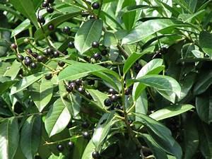 Kirschlorbeer Wann Pflanzen : kirschlorbeer wann schneiden kirschlorbeer pflanzen ~ Lizthompson.info Haus und Dekorationen