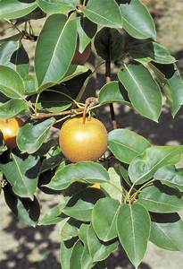 Asian Pear Tree Care - Tips For Growing Asian Pears In The ...  Pear