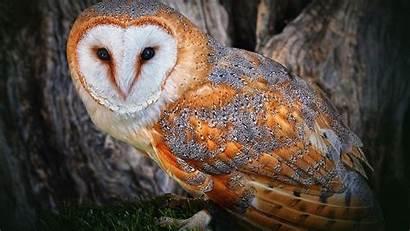 Owl Animals Owls Feathers Birds Golden Barn