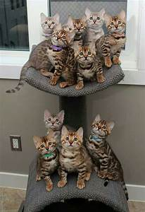 savannah cat chart 17 best images about bengals savannahs asian leopard