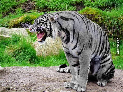 Maltese Tiger Still More Rare Than Golden Gag
