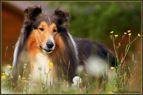 Suņu šķirnes(garspalvainie kolliji) - Spoki - bildes 2