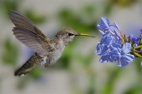 Hummingbird Habitats   Ideal Areas and Conservation