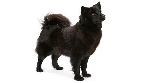 breeds that shed the most hair breeds that shed the most hair