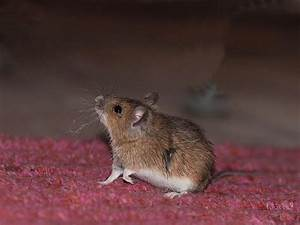 Maus Im Haus : maus im haus so wirst du sie auf eine tierliebe und ~ A.2002-acura-tl-radio.info Haus und Dekorationen