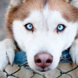 One of my dogs eye color CRYSTAL BLUE gorgeous the other ...