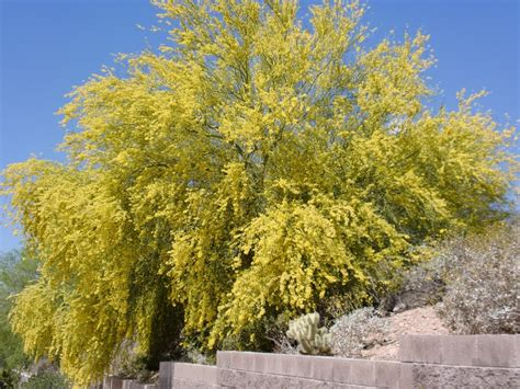 yellow flowering tree az blue skies food flowering