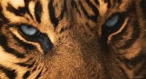 tiger eyes   Tumblr