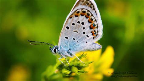 Download Wallpaper 1920x1080 Butterfly, Blues, Marco