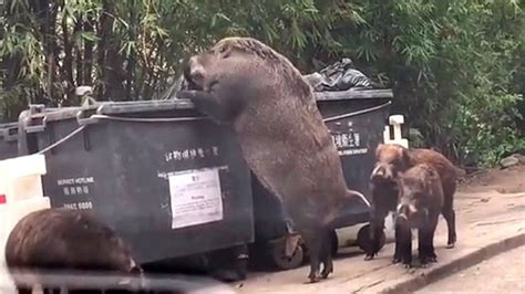 large tv stand pig on ravaging dumpster near