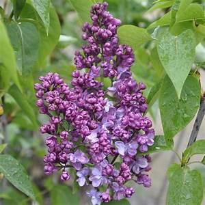 Plantes Et Jardin : lilas commun 39 prince wolkonsky 39 plantes et jardins ~ Melissatoandfro.com Idées de Décoration