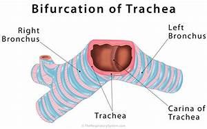 Trachea  Windpipe  Definition  Anatomy  Function  Diagram