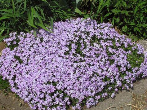 creeping phlox 608 lchn bls proposed landscape plantings