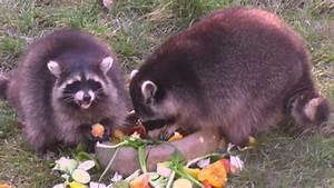 Was Fressen Waschbären : waschb ren fressen sich winterspeck an youtube ~ Frokenaadalensverden.com Haus und Dekorationen
