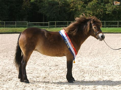 Exmoor Horse Breed Information, Buying Advice, Photos And