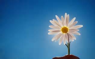 light blue flowers 菊花 网站 背景 壁纸 桌面 图像 宽屏 内容 70749