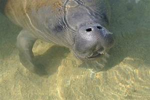 Baby manatee in the morning (Key Largo, Florida) | Florida ...