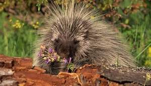 pig latin to english adaptation of porcupines animals me