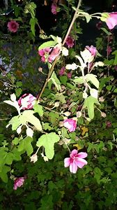 Best shrub identification ideas and images on bing find what you pink flowering shrub identification mightylinksfo